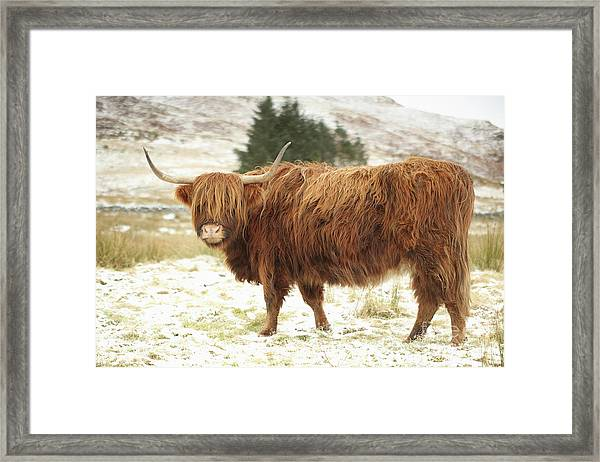 Scottish Red Highland Cow In Winter Framed Print
