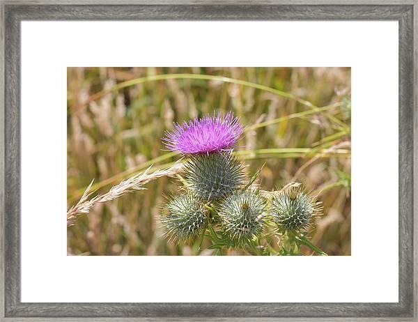 Scottish Thistle Framed Print
