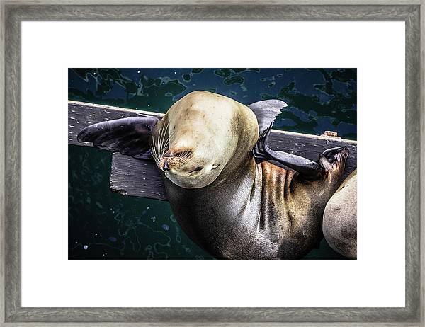 California Sea Lion - Scratch The Itch Framed Print