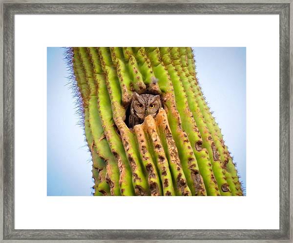 Screech Owl In Saguaro Framed Print