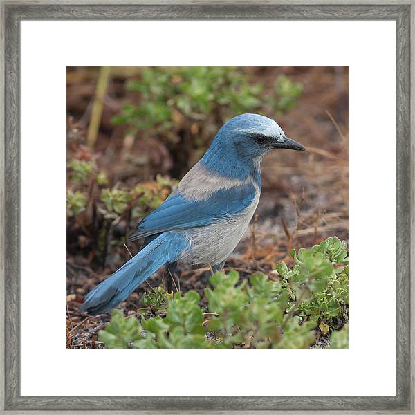 Scrub Jay Framed In Green Framed Print