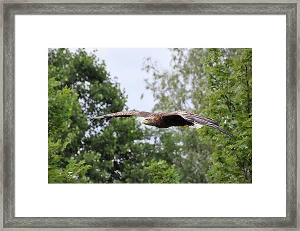 Sea Eagle Framed Print