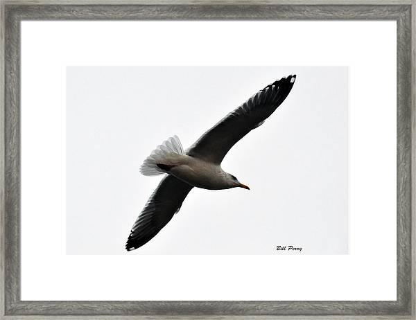 Sea Gull Hovering Framed Print by Bill Perry