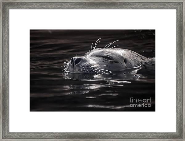 Sea Lion Basking In The Light Framed Print