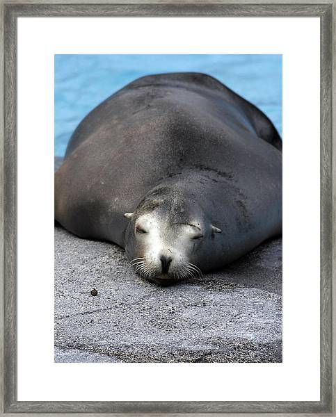 Sea Lion Snooze Framed Print