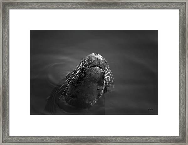 Sea Lion V Bw Framed Print