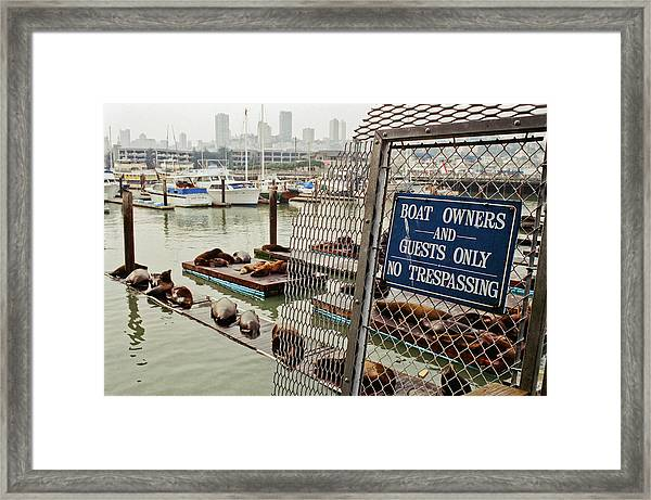 Sea Lions Take Over, San Francisco Framed Print