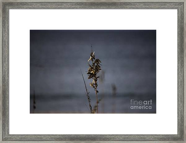 Sea Oat Framed Print