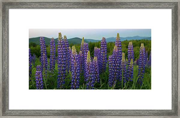 Sea Of Purple Framed Print