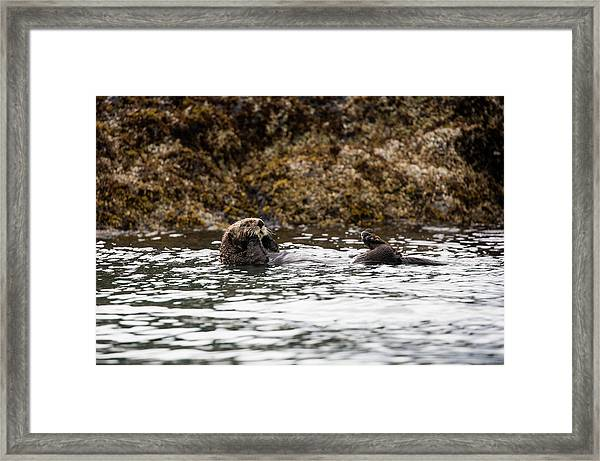Sea Otter Floating In The Bay Framed Print