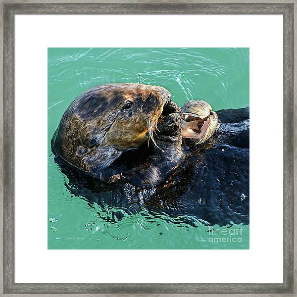 Sea Otter Munching On A Clam Framed Print