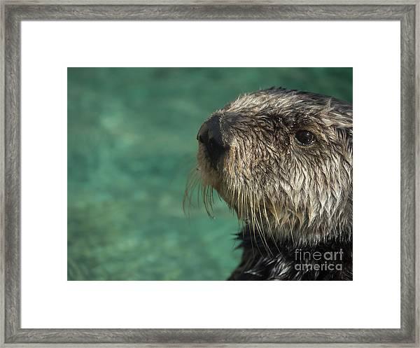 Sea Otter Stare Down Framed Print