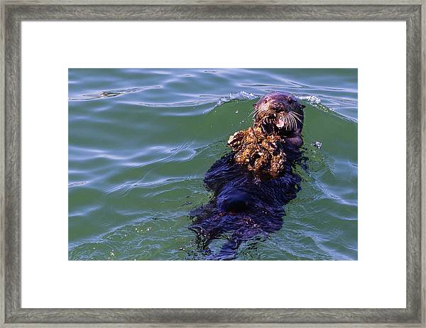 Sea Otter With Lunch Framed Print