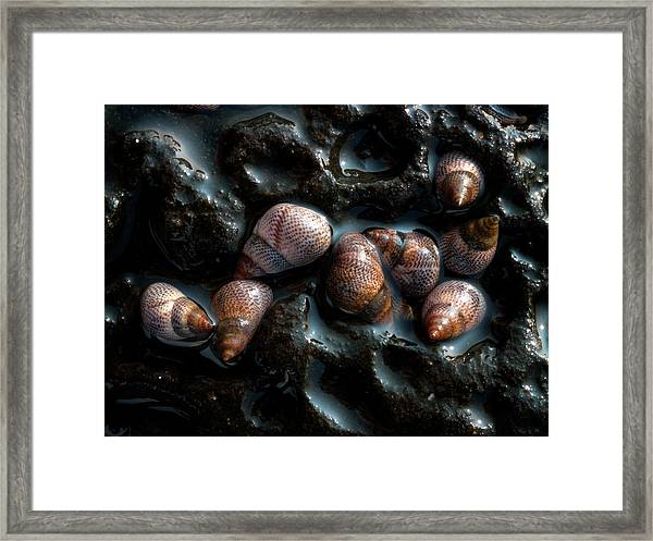Sea Snails Framed Print