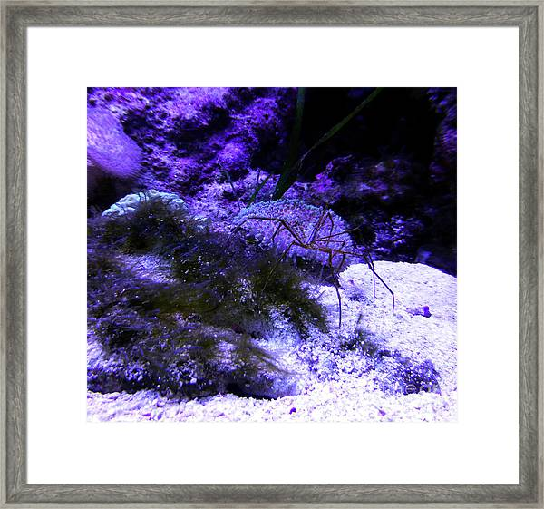 Sea Spider Framed Print