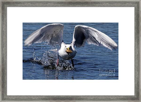 Seagull Flight Framed Print