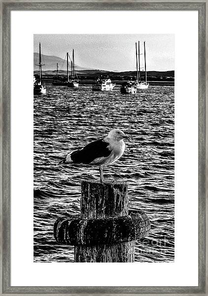 Seagull Perch, Black And White Framed Print