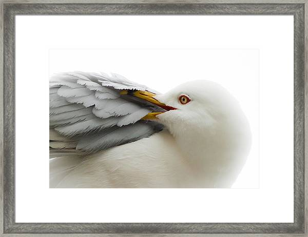 Seagull Pruning His Feathers Framed Print