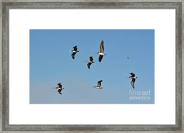 Seagull Soaring With Pelicans Framed Print