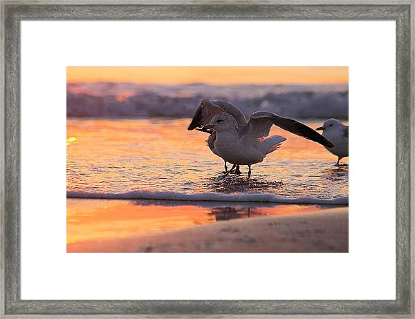 Seagull Stretch At Sunrise Framed Print