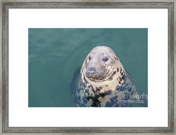 Seal With Long Whiskers With Head Sticking Out Of Water Framed Print
