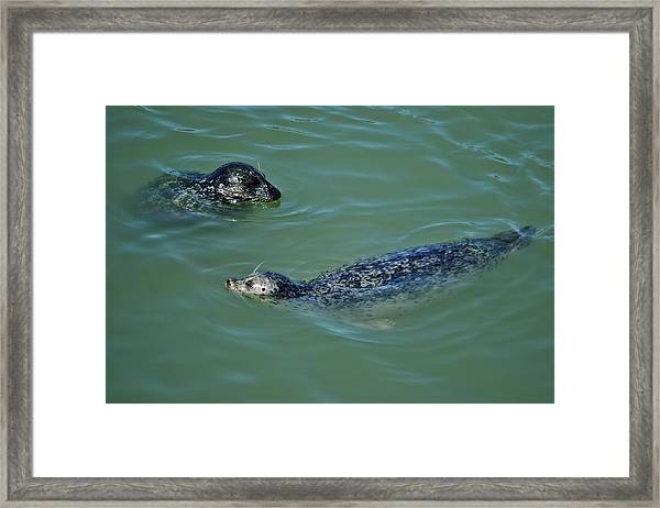 Sealion Friends Framed Print