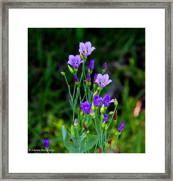 Seaside Gentian Wildflower  Framed Print