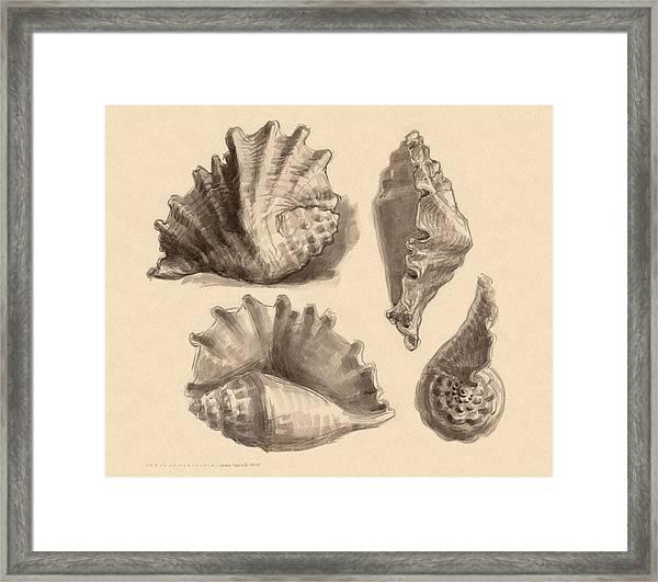 Seba's Spider Conch Framed Print