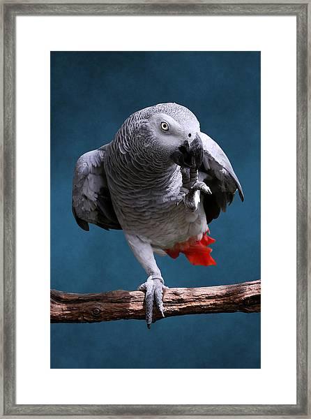Secretive Gray Parrot Framed Print
