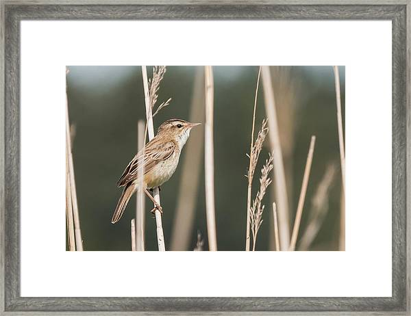 Sedge In The Sedge Framed Print