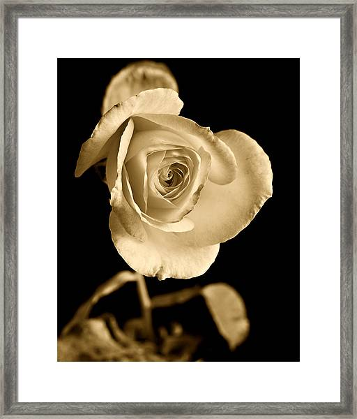 Sepia Antique Rose Framed Print