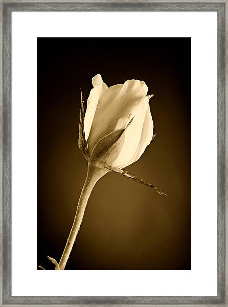 Sepia Rose Bud Framed Print