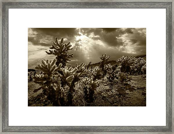 Sepia Tone Of Cholla Cactus Garden Bathed In Sunlight Framed Print