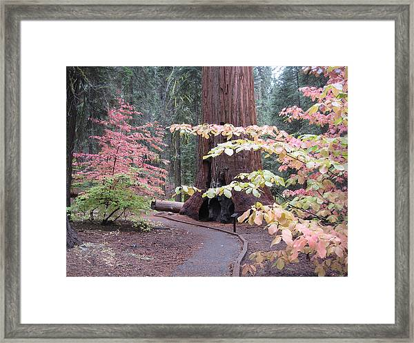 Sequoia  Trees 3 Framed Print by Naxart Studio