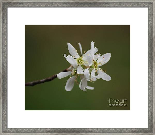 Serviceberry Bloom Framed Print