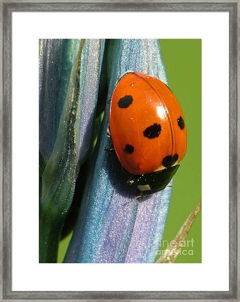 Seven Spotted Lady Beetle Framed Print