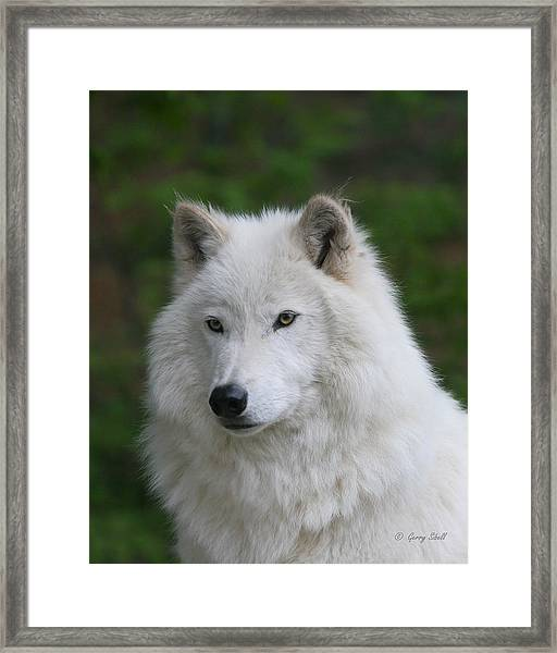 Shadow The Arctic Wolf Framed Print