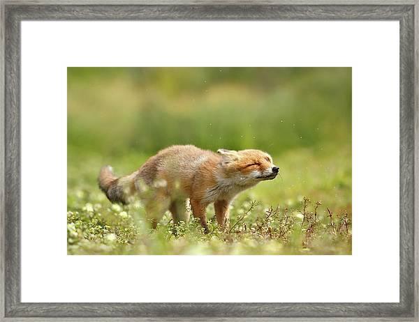 Shaking Fox Framed Print