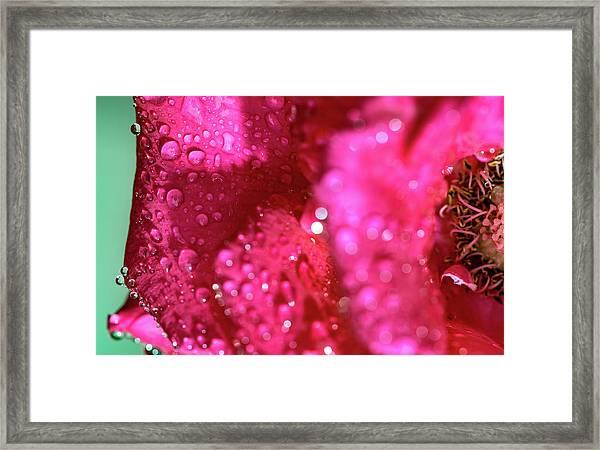 Sharp Wet Rose Framed Print