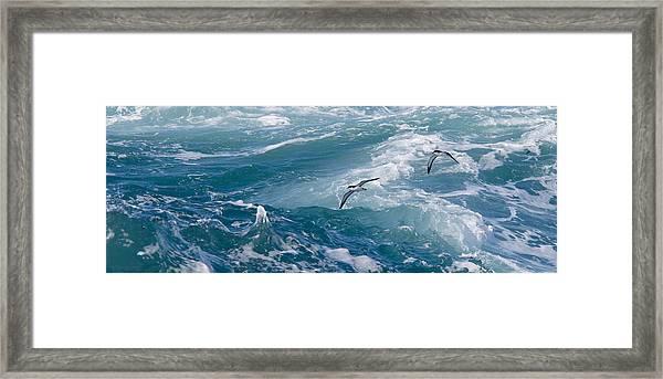 Shearwaters Framed Print