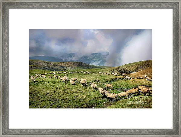 Sheep In Carphatian Mountains Framed Print