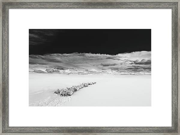 Sheep In Snow On A Beautiful Day In  Alnmouth, Northumberland. Framed Print