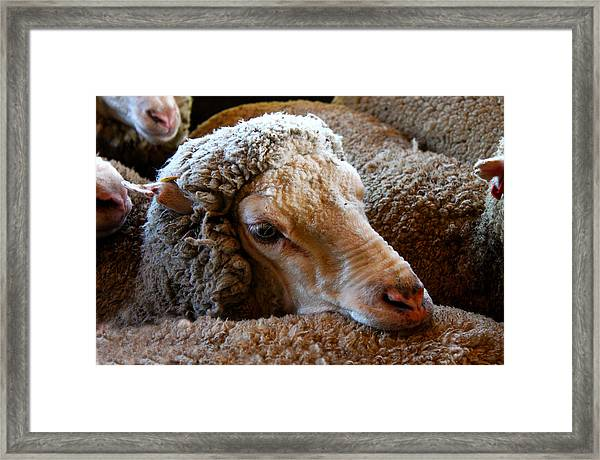 Sheep To Be Sheared Framed Print