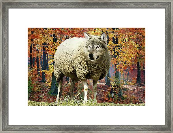Sheep's Clothing Framed Print