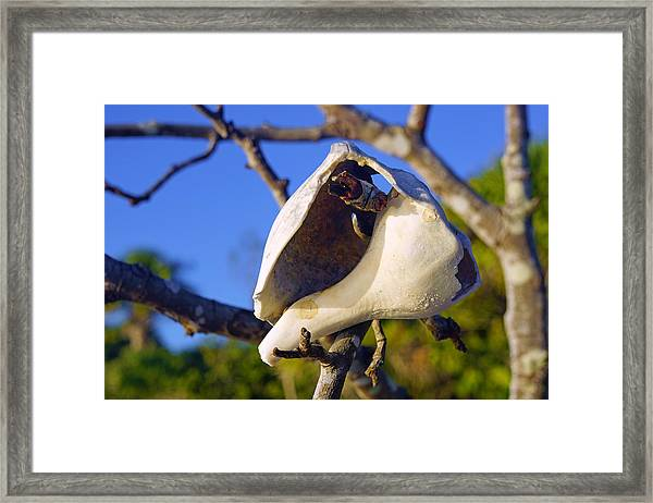 Shell On Brach Of Mangrove Tree At Barefoot Beach In Napes, Fl Framed Print