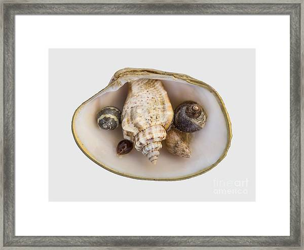 Shells Within A Sea Shell Framed Print