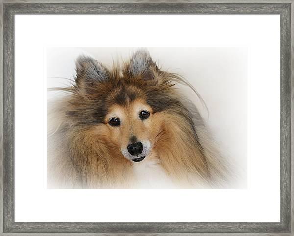 Sheltie Dog - A Sweet-natured Smart Pet Framed Print