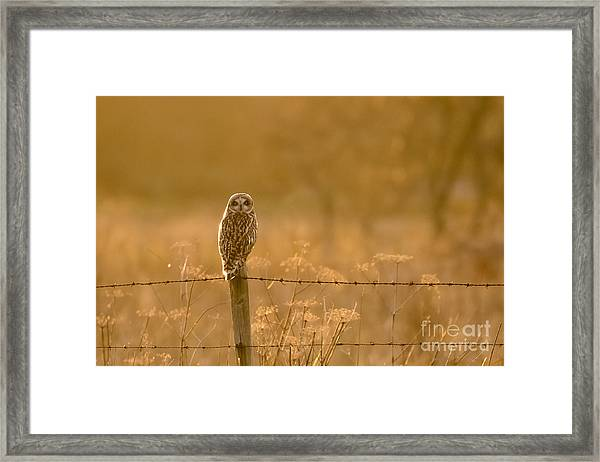 Short-eared Owl At Sunset Framed Print