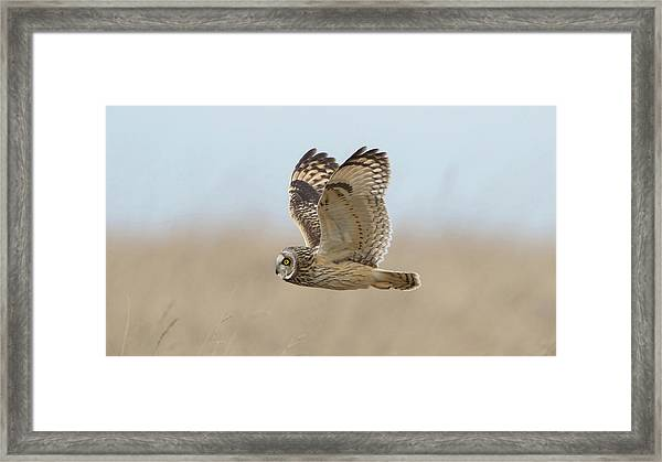 Short-eared Owl Hunting Framed Print