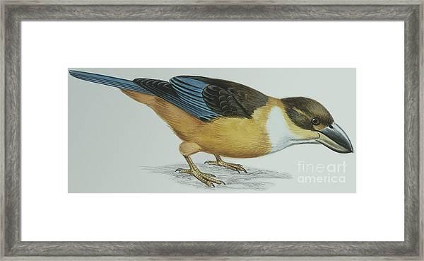 Shovel-billed Kookaburra Framed Print